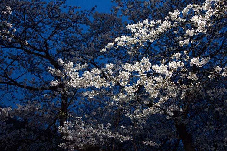 Blossom Botany Branch Cherry Blossom Cherry Tree Flower Night Sakura Cherry Blossom Tree
