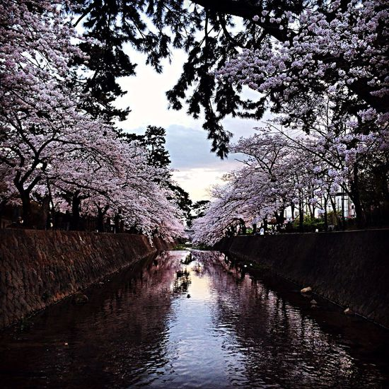 桜百景 Nishinomiya-shi,Japan
