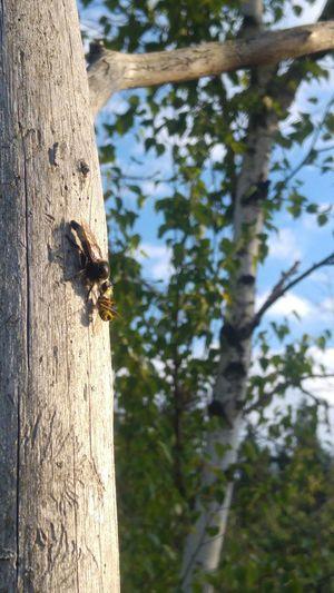 Hornet eating
