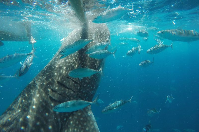 Experience of a lifetime. ❤ Whale Watching Whaleshark Oslobcebu OslobParadise Experience Adventure Travel Travel Destinations Travel Photography Itsmorefuninthephilippines Travelgram TravelPhilippines Goprohero4 Gopromoment Goprophotography First Eyeem Photo Lifeofadventure