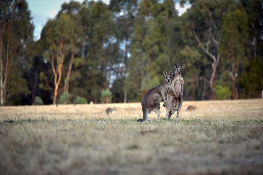 Australian Landscape Australia Amimals Kangaroos