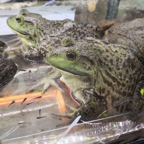 Batracios Ranas Sapos Naturaleza Batracien Batracios Green Color Reptile Water Close-up Amphibian Frog Animal Scale