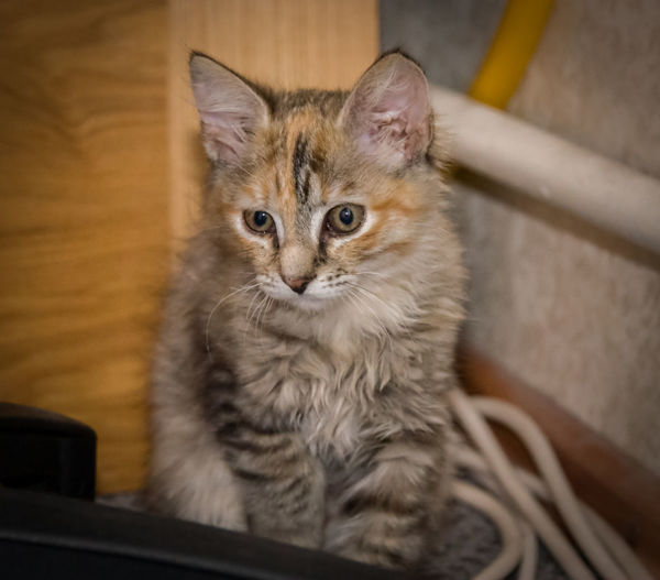 A portrait of a cute tricolor kitten Cat Domestic Domestic Animals Domestic Cat Feline Indoors  Mammal No People One Animal Pets Vertebrate Whisker