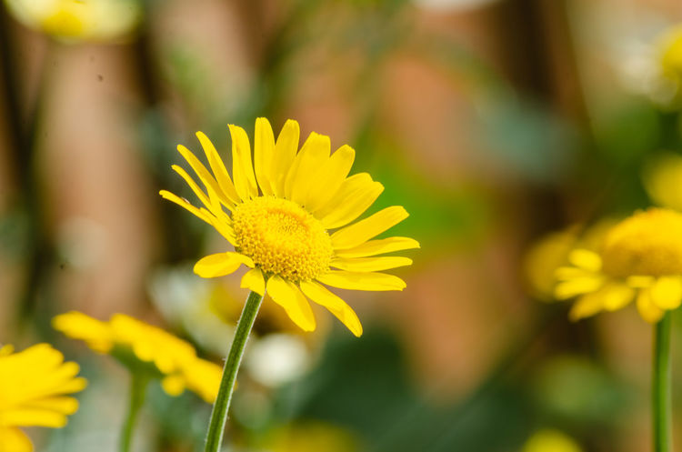 Close up view of an anthemis flower. Daisy Anthemis Beauty In Nature Close-up Flower Flower Head Flowering Plant Focus On Foreground Fragility Freshness Growth Nature No People Outdoors Petal Plant Vulnerability  Yellow