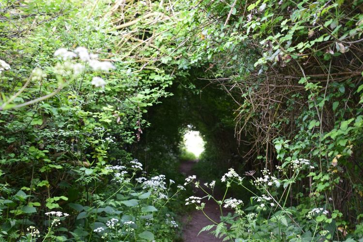 Natural Tunnel Cow Parsley Wiltshire Farmland Plant Growth Tree Beauty In Nature Green Color Water Forest Tranquility Scenics - Nature Land Nature Branch