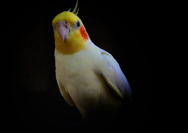 Close-up of bird perching on black background