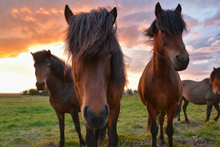 Horse Animal Agriculture Mammal Domestic Animals Ranch Livestock Outdoors Animal Themes Nature Day Sunset Rural Scene Animal Wildlife Sky No People Togetherness Travel Iceland Icelandic Horses Ponies Horses Close-up Grass Portrait The Week On EyeEm
