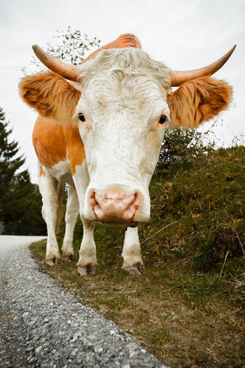 Who are you? Cow. Animal Head  Animal Themes Bavaria Brown Bull Bullish Cow Cows Curious Domestic Animals Farm Field Front View Grass Herbivorous The Mix Up Looking At Camera Mammal Mountains Nature One Animal Portrait Rural Scene Standing Two Animals