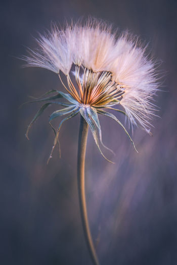 Beauty In Nature Close-up Dandelion Dandelion Seed Flower Flower Head Flowering Plant Focus On Foreground Fragility Freshness Growth Inflorescence Nature No People Outdoors Plant Plant Stem Selective Focus Sepal Softness Vulnerability  Wilted Plant