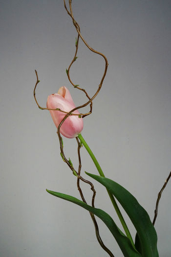 Close-up of pink flowering plant against white background