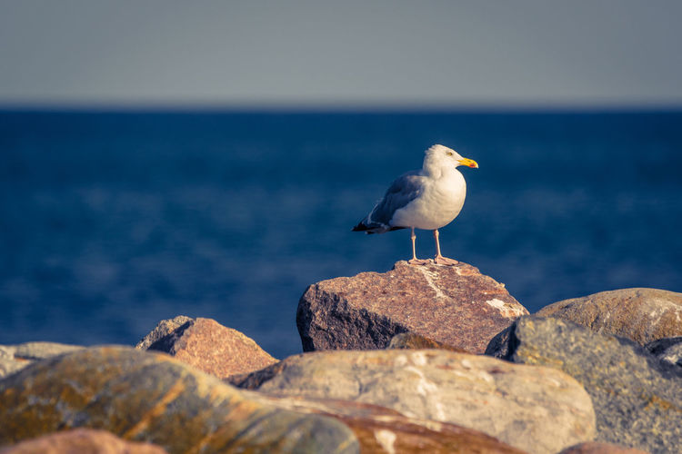 Seagull On Rock By Sea Against Sky