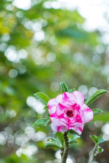 Bokhe Adenium Flower Adenium Azalea Flowers Flower Head Flower Defocused Pink Color Petal Springtime Soft Focus Rose - Flower Close-up Plant Blossom Fashion Show Cherry Tree In Bloom Stamen Apple Blossom Fruit Tree Pistil Pollen Orchard Hibiscus Passion Flower