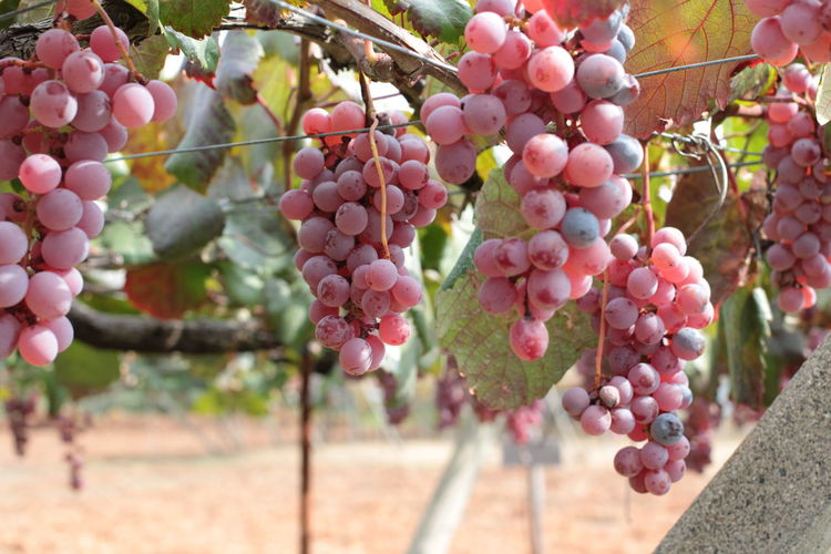 Autumn Fall Fruit Grape Grapes ぶどう 秋 食欲の秋
