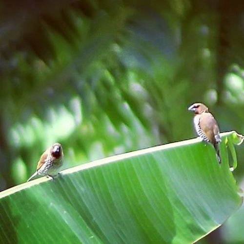 Nice couple. Birds Birding Javasparrow NatureShoot Birdofinstagram Birdsporn Birds Nice Pair Cool Nice