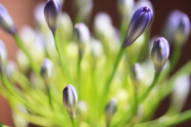 Close Up Agapanthus Flowerhead Plant Growth Beauty In Nature Close-up Flower Flowering Plant Vulnerability  Selective Focus No People Nature Freshness Day Petal Focus On Foreground Outdoors Bud Full Frame Backgrounds Fragility