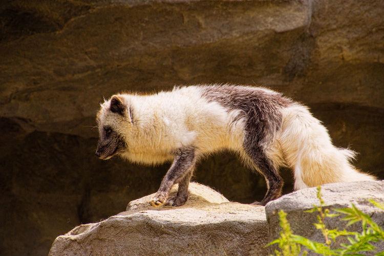 Arctic fox in the munich zoo
