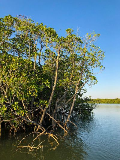 Mangrove in Darwin Harbour, Northern Territory, Australia. Waterscape Fragile Ecosystem Mangrove Halophytes Rhizophora Rhizophoraceae Plant Tree Water Nature Beauty In Nature Sky Growth Tranquility No People Day Outdoors Clear Sky Scenics - Nature Sunlight Green Color Tranquil Scene My Best Travel Photo