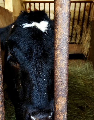 Eyes are the window to the Soul Sentience Animalsentience Soul Milk Dairyisscary Dairy AnimalsHaveEmotions Animalshavesouls Notourstoexploit Speakout Cow Animals In Captivity Caged Animals Caged Beauty Prisoner Prison Cell