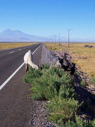 High Angle View Of Lama On Road Amidst Landscape