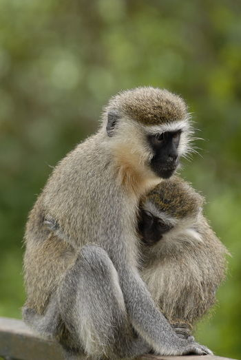 Close-Up Of Gray Langur With Infant