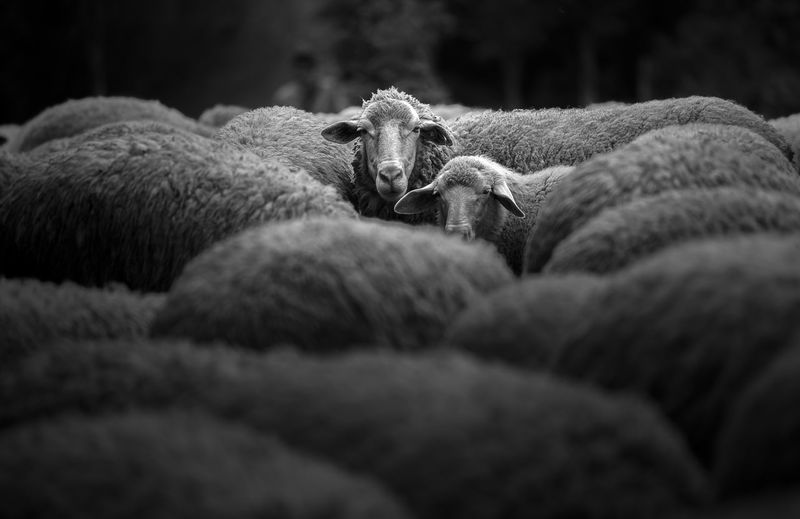Portrait of sheep Animal Animal Themes Close Up Domestic Domestic Animals Farming Group Of Animals Herbivorous Indoors  Livestock Mamals Mammal Nature No People Pets Portrait Relaxation Selective Focus Sheep Textile Travel Destinations Two Animals Vertebrate Wool