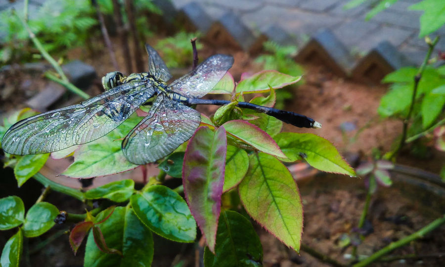 Dragon Fly After Rain Dragonfly Nature Insects Dead Dragonfly Rose Plant Rose Garden Showcase June
