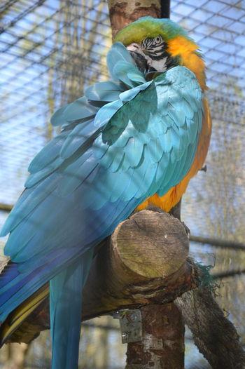 Bird Peacock Peacock Feather Perching Parrot Multi Colored Rainbow Lorikeet Blue Tree Feather  Tropical Bird