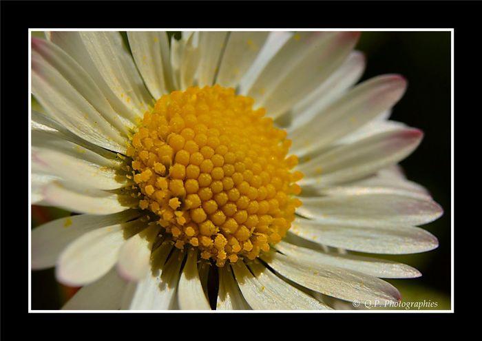 Paquerettes Macrophotography Fleur Flower Flower Collection Macro_flower Macro Photography Macro_collection Macro Flowers, Nature And Beauty