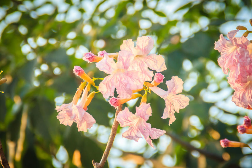 Close up pink trumpet (Tabebuia rosea) flowers on tree with branches and leaves. Tabebuia rosea is a Pink Flower tree that common named Pink trumpet tree, Rosy trumpet tree. Pink Trumpet Rosy Trumpet Tabebuia Tabebuia Chrysotricha Tabebuia Aurea Tabebuia Rosea Tabebuia Roseoalba Beauty In Nature Botany Cherry Blossom Close-up Day Flower Flower Head Flowering Plant Focus On Foreground Fragility Freshness Growth Inflorescence Nature No People Outdoors Petal Pink Color Pink Trumpet Tree Pink Trumpettree Plant Pollen Rosy Trumpet Tree Selective Focus Springtime Tabebuia Chrysantha Tree Vulnerability
