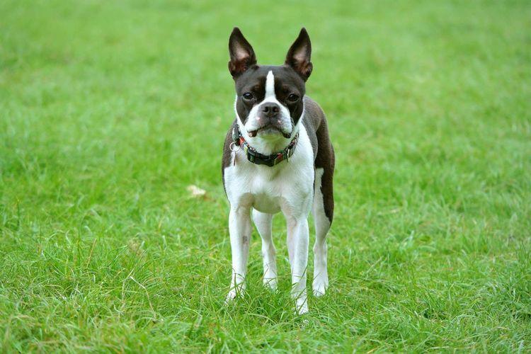 Dog grazing on grassy field