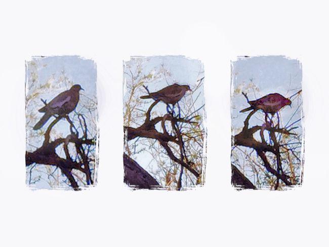 Bird birds Triptych IPhoneography