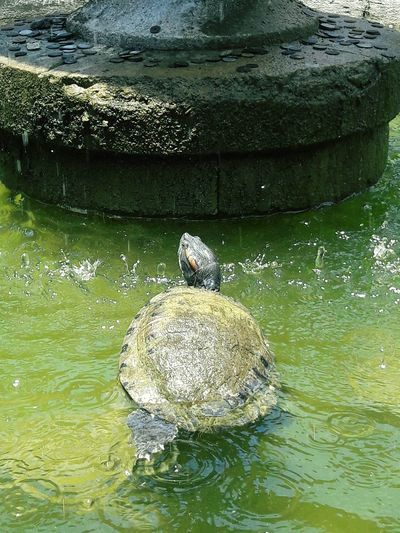 Turtle on a Fountain Fountain Water Swimming Lake Reptile Waterfront Bird Reflection Sea Life Close-up Turtle Amphibian