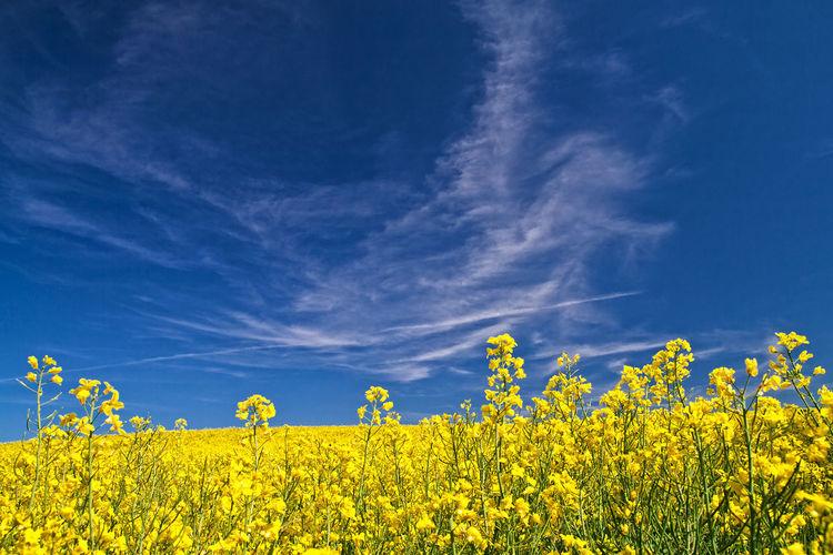 Oilseed rape field against blue sky