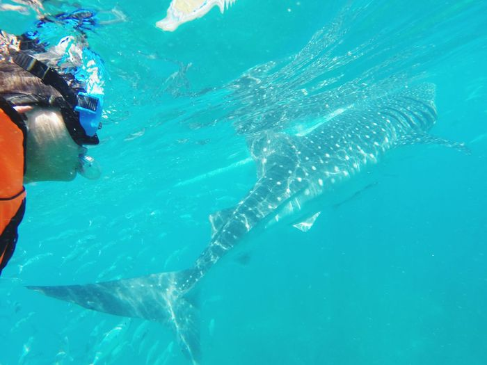 Dive with the Whale Shark in Oslob, Philippines. Philippines Fun Oslobcebu Whale Shark