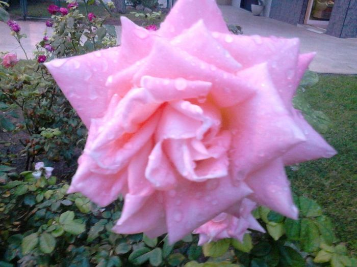 The Rose Silhouette The Purist (no Edit, No Filter) Nature_collection