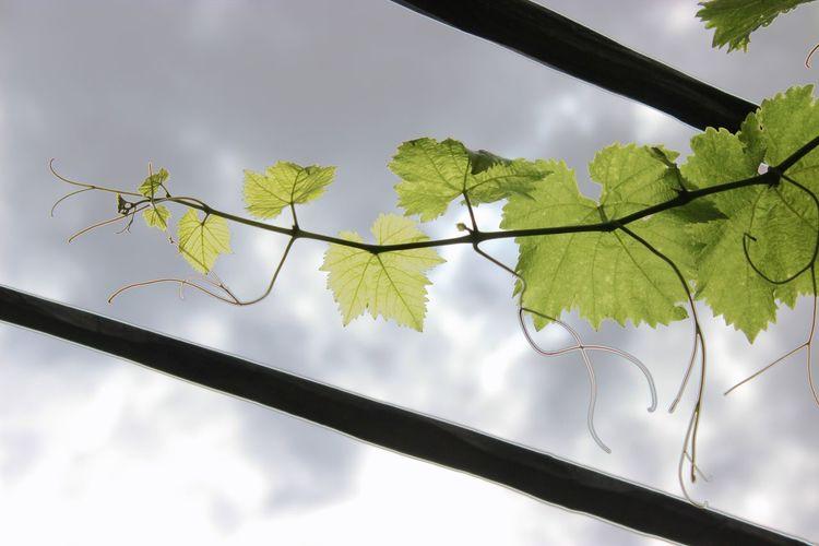 Weinrank Plant