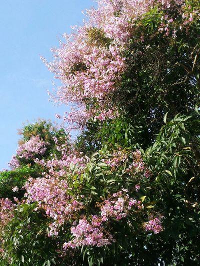Tree Pink Trees