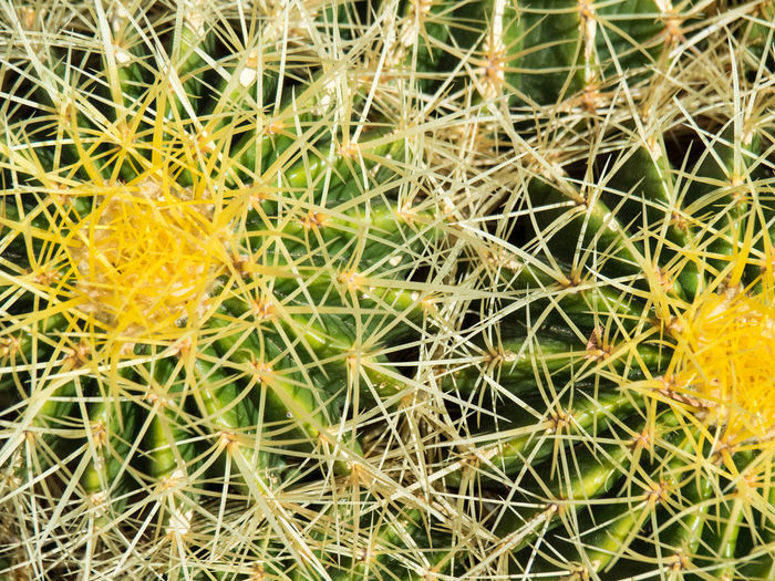 Beauty In Nature Cactus Close-up Full Frame Green Color Growth Nature No People Outdoors Plant Spiked