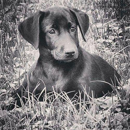 EyeEmNewHere Puppydog Blacklabradorretriever Puppyeyes