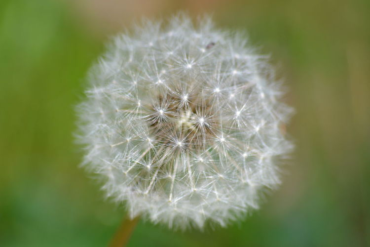 Dandelion Flower Close-up Nature Plant Fragility Uncultivated Growth Springtime Beauty In Nature No People Freshness Flower Head Outdoors Day The Purist (no Edit, No Filter)