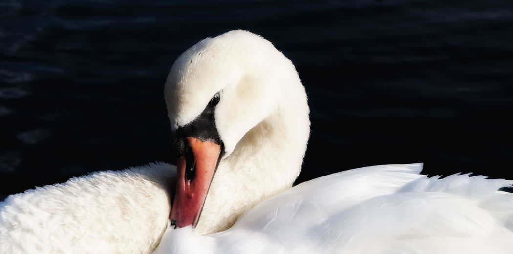 Close-Up Of Swan In Lake