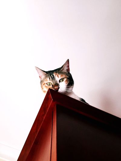 High spot Domestic Cat Pets One Animal Animal Themes Feline Domestic Animals Mammal Cat Sitting Indoors  Animal Low Angle View No People Whisker Looking At Camera Portrait Day Close-up