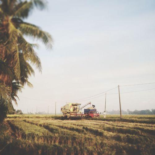 Harvest Time Padi