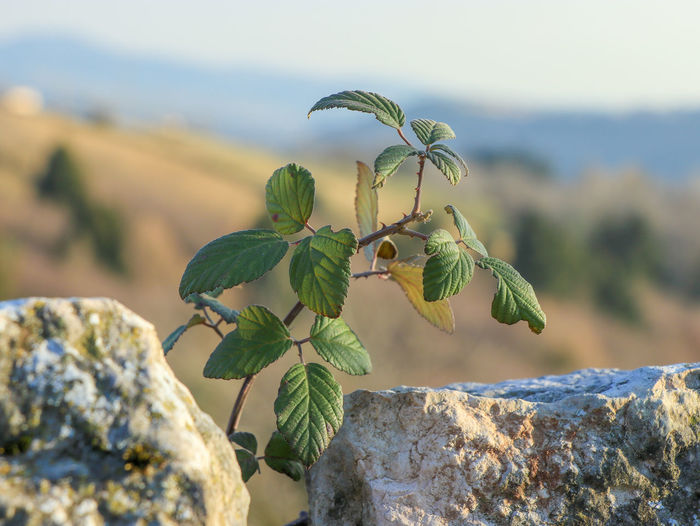 Growth Process Blackberry Bush Plant Part Nature Growth Focus On Foreground Close-up Beauty In Nature Outdoors A Place In The World No People Rock Day Leaf Plant Inbetween