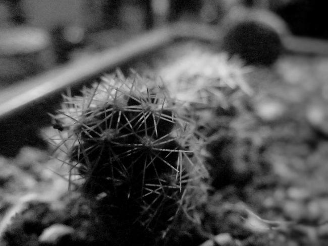 Black & White Cactus Chihuahua, Mexico Dessert Leo Sáenz Close-up Nigth  Selective Focus