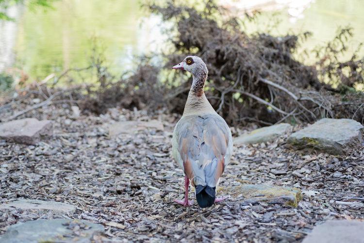 Wild goose in