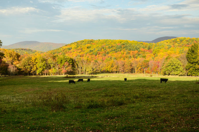 Scenic view of cows grazing on a green meadow