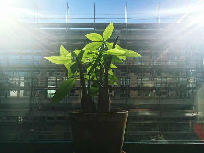 Plant Growth Nature Leaf No People Potted Plant Plant Part Sunlight Day Window Indoors  Green Color Architecture Sunbeam Built Structure Glass - Material Lens Flare Sun Bright