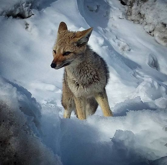 Snow Fox Animal Snow Winter Animal Wildlife Cold Temperature Mammal One Animal Ice Wilderness Animals In The Wild Nature Wolf No People Outdoors Fox Beauty In Nature Day Animal Themes Beahero Goprosession Gopro Shades Of Winter