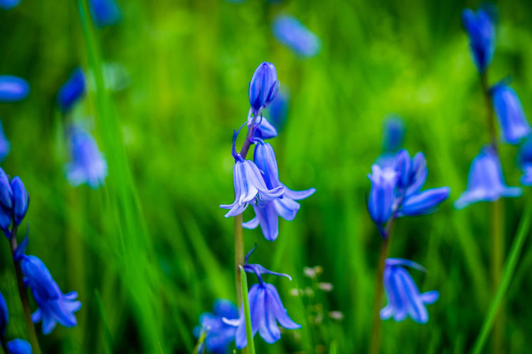 Flowering Plant Plant Flower Beauty In Nature Vulnerability  Fragility Growth Freshness Petal Purple Close-up No People Inflorescence Flower Head Nature Focus On Foreground Blue Field Green Color Selective Focus Iris Iris - Plant